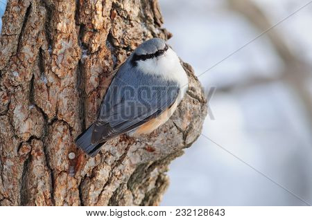 The Eurasian Nuthatch Or Wood Nuthatch (sitta Europaea) Sits On A Large Pine Tree, Turning To The Ph