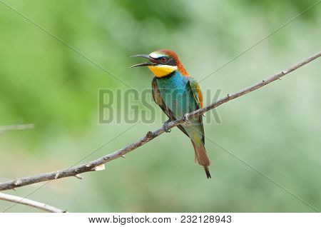 European Bee-eater (merops Apiaster) Its With An Open Beak And Spread Wings.
