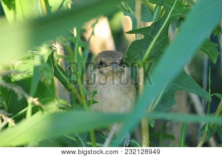 Red-backed Shrike's Chick Hides In High Green Grass.
