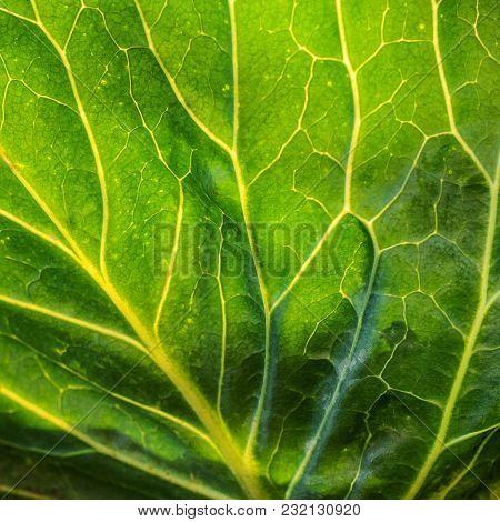 Cabbage Leaf Closeup Background. Fresh Leaf Macro.