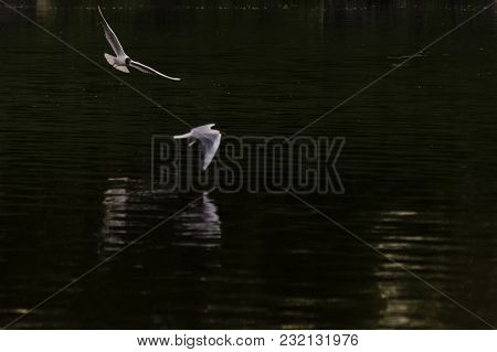 Beautiful Seagull On A River At Sunset
