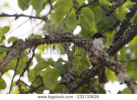 European Pied Flycatcher With An Insect In The Beak. Latin Name Ficedula Hypoleuca