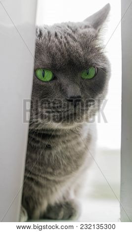 Beautiful Russian Blue Cat With Green Eyes Pose On The Dark Background Animal Cat On The Window The
