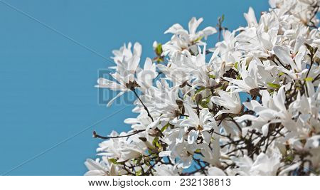 Soft Focus Image Of Blossoming Magnolia Flowers In Springtime With Sun Light