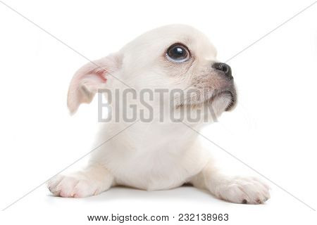 Small Cute White Chihuahua Puppy. Wide Angle View, Isolated On White