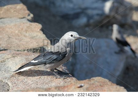 Clark`s Nutcracker Bird Looking For A Handout/food On A Rock Wall In Rocky Mountain National Park, C