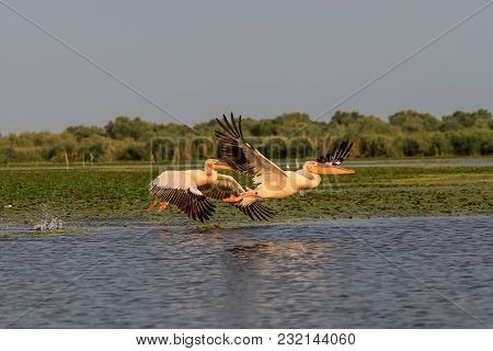 Pelicans Taking Off In Danube Delta The Second Largest River Delta In Europe, After The Volga Delta,