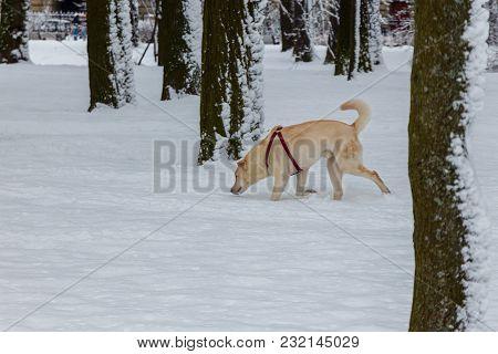 A Dog On A Walk After A Snowfall