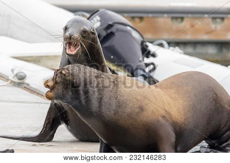 Two Sea Lions Fight Over A Spot On The Dock