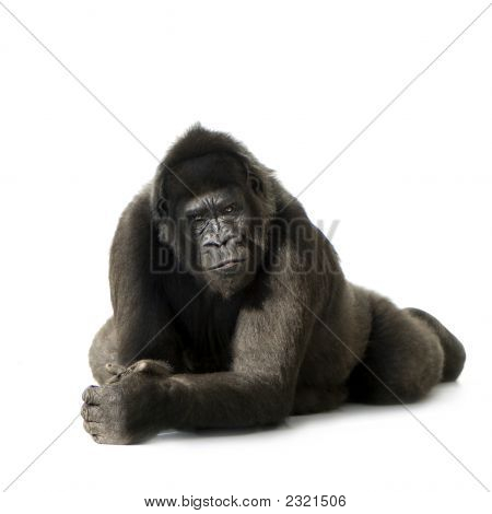 Jonge Silverback Gorilla