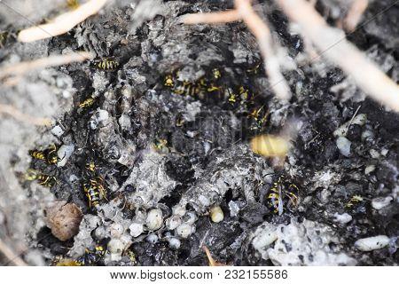 Vespula Vulgaris. Destroyed Hornet's Nest.