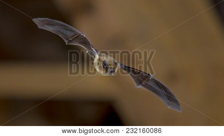 Pipistrelle Bat (pipistrellus Pipistrellus) Flying On Ceiling Of House In Darkness