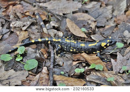 Fire Salamandra In The Forest Of European Alps