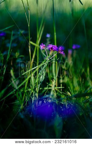 Delicate Purple Flower Growing In Grassy Fields, Small Depth Of Field, Blurred. Cunha, Sao Paulo