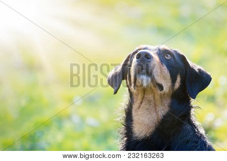 Black Brown Dog, Canis Lupus Familiaris, Blessing Under Sun Rays On Isolated Yellow Green Background