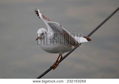 Black-headed Gull, Chroicocephalus Ridibundus, Winter Plumage, Balancing On The Wire And Spreading W