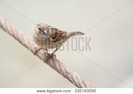 House Sparrow, Female, Passer Domesticus, Passeridae, Posing On The Wire Against Isolated Background
