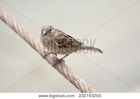 House Sparrow, Female, Passer Domesticus, Passeridae, Sitting On The Wire Against Isolated Backgroun
