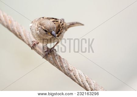 House Sparrow, Female, Passer Domesticus, Passeridae, Sitting On The Wire On Isolated Background