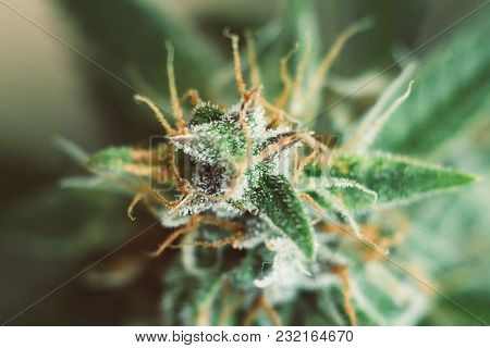 Shot Macro Buds Of Medicinal Marijuana Trichomes Cbd Thc. Concepts Of Legalizing Herbs Weed, Bud Can