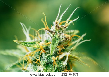 Weed Buds Of With Sugar Trichomes. Concepts Of Grow And Use Of Marijuana Trichomes Cbd Thc Medicinal