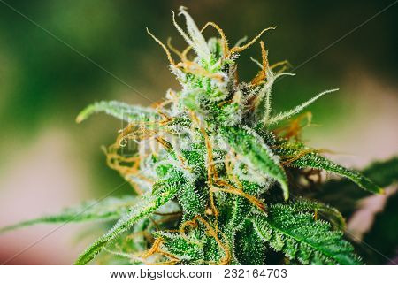 Macro Shot With Sugar Trichomes, Beautiful Buds Cannabis Grown In The House Before Harvest. Concepts