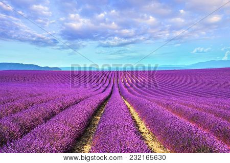 Lavender Flower Blooming Scented Fields In Endless Rows. Valensole Plateau, Provence, France, Europe