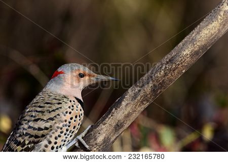 A Northern Flicker Walking Its Way Up A Dead Branch From Western Missouri.