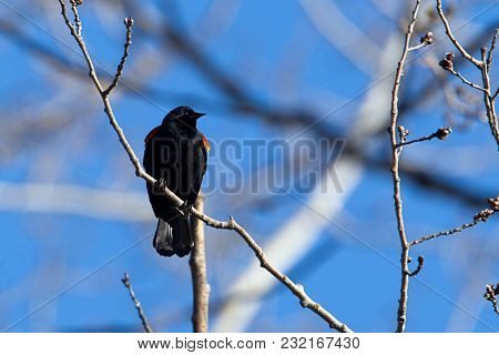 A Cute Red Winged Blackbird Is Perched In A Tree In North Idaho.