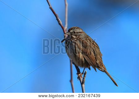 A Cute Little Song Sparrow Is Perched In A Tree In North Idaho.
