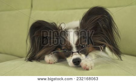 Dog Papillon Dog In Glasses Lies On The Couch On His Paws And Thinks