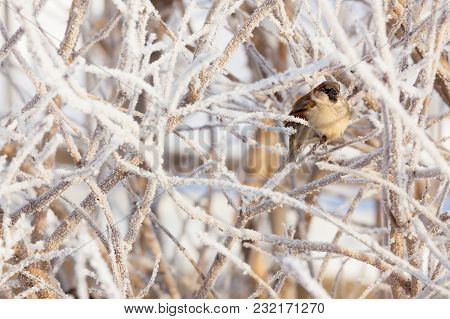 Sparrow Sitting In Frost Bush On Sunny Winter Day Looking In To Camera