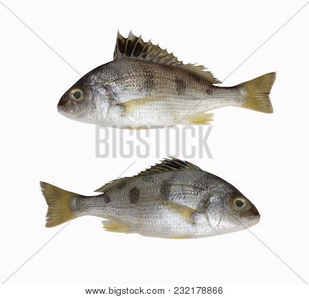 Fresh Lined Silver Grunt Fish Isolated On White Background And Have Clipping Paths With Create From