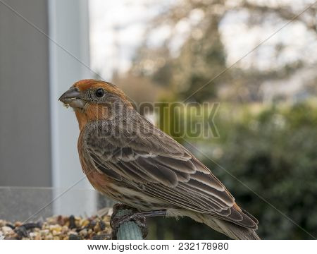 A Male House Finch Looks Down In Between Bites Foraging For Seeds