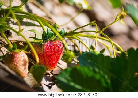 Close-up Of Strawberries With White Flower In The Garden. Organic Strawberry Field At Doi Ang Khang