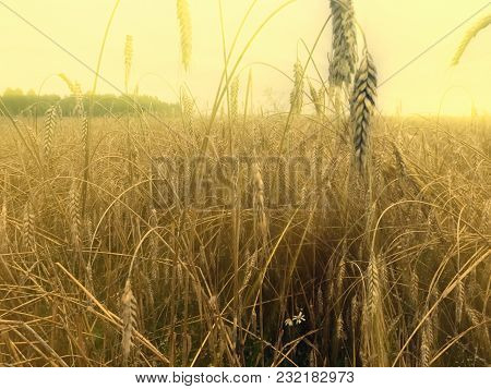 Wheat Field. Ears Of Golden Wheat Close Up. Beautiful Nature Landscape. Filmed In Close-up Ear Of Wh