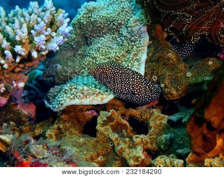 The Amazing And Mysterious Underwater World Of The Philippines, Luzon Island, Anilаo, Moray Eel