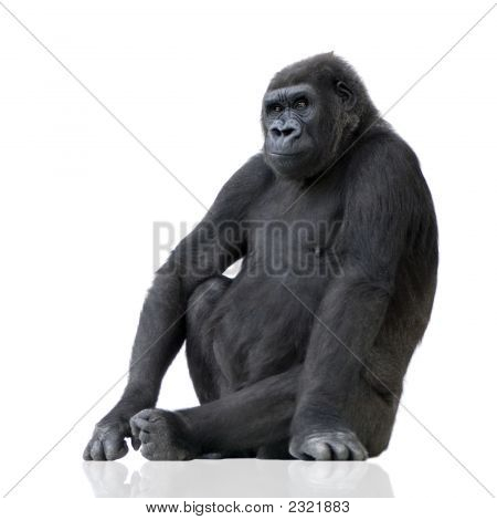 Young Silverback Gorilla in front of a white background poster