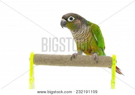 Green-cheeked Conure Bird On Branch, Isolate On White