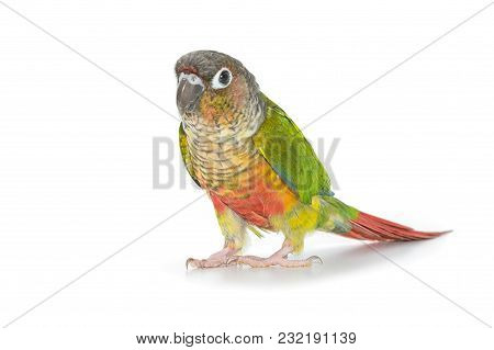 Green-cheeked Conure Bird Isolate On White Background