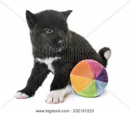 Puppy American Akita In Front Of White Background
