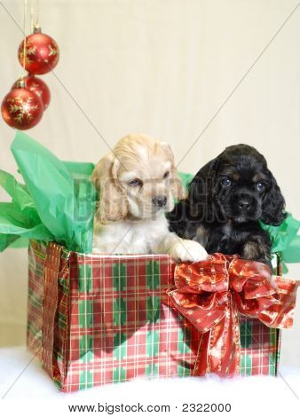 Acs Puppies In Present