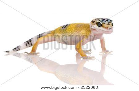 Gecko Leopardo joven - Eublepharis Macularius