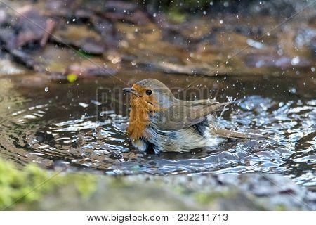 European Robin (erithacus Rubecula) Taking Bath In Puddle. Bird Washing With Striking Orange Breast,