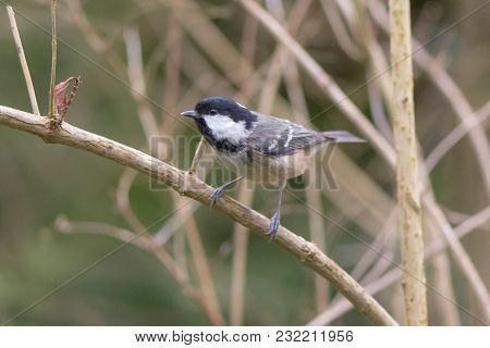 Coal Tit (periparus Ater) Perching On Branch, In Profile. Bird Washing With Striking Orange Breast,