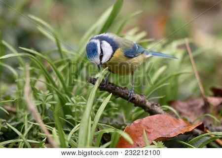 Blue Tit (cyanistes Caeruleus) On Ground Surrounded By Grass. Bird Washing With Striking Orange Brea