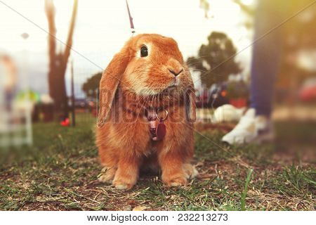 Brown Rabbit. A Little Bunny On The Ground On The Lawn. The Rabbit Has The Leash. Blurred Background