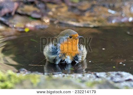 European Robin (erithacus Rubecula) Taking Bath In Puddle, Head On. Bird Washing With Striking Orang
