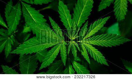 Close-up View Of Hemp Bloom Cannabis Marijuana Plant. Shallow Depth Of Field With Selective Focus. B