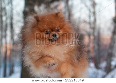 Beautiful Pomeranian Puppy Is Playing On A White Snow. Pet Animals. Winter Morning.